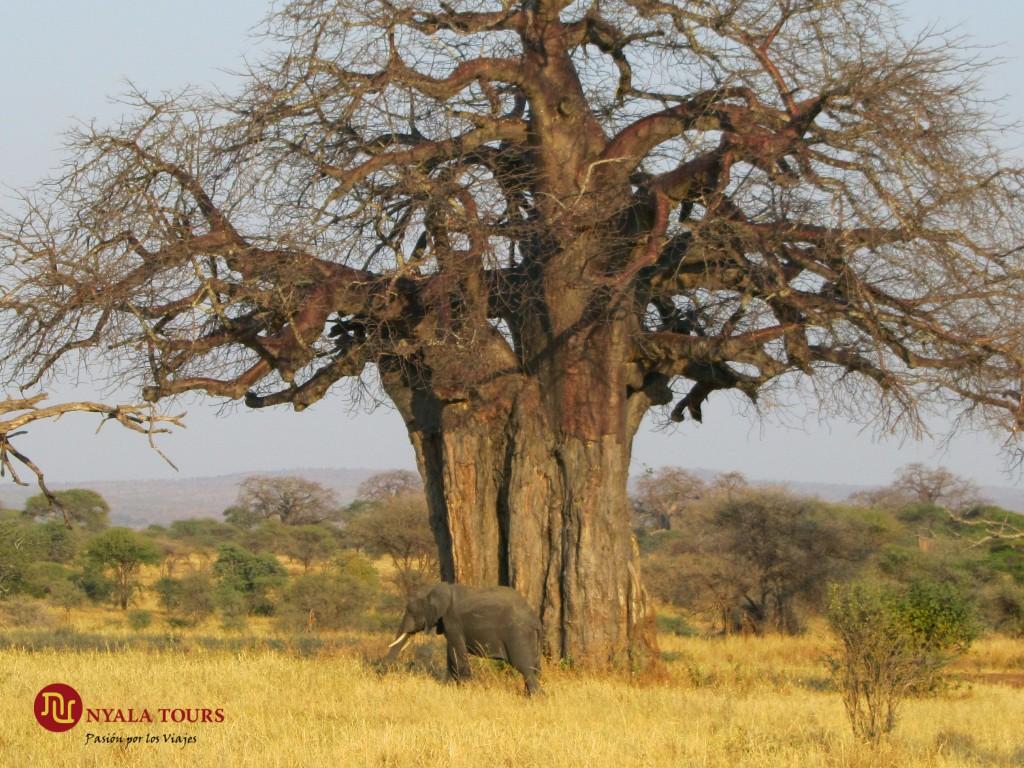 baobab-and-elefante