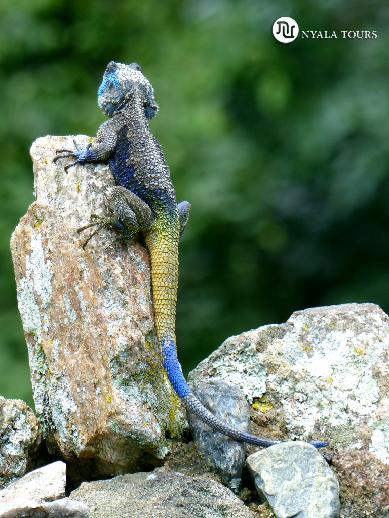 blue-headed-tree-agama