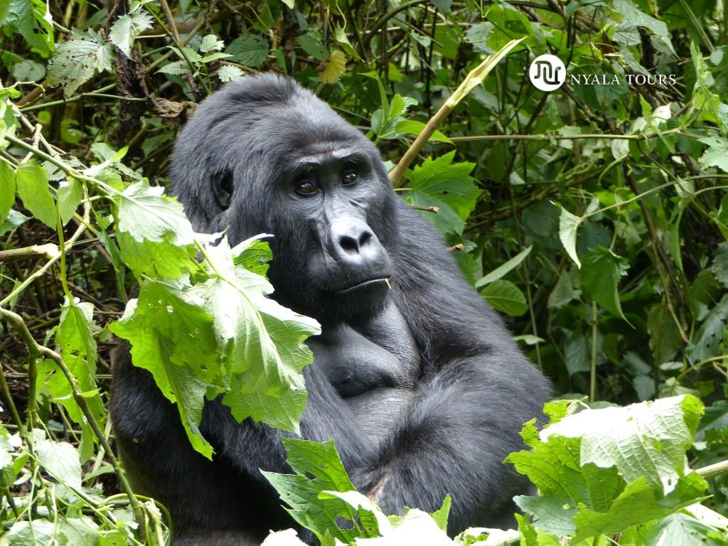 gorilla3bwindi
