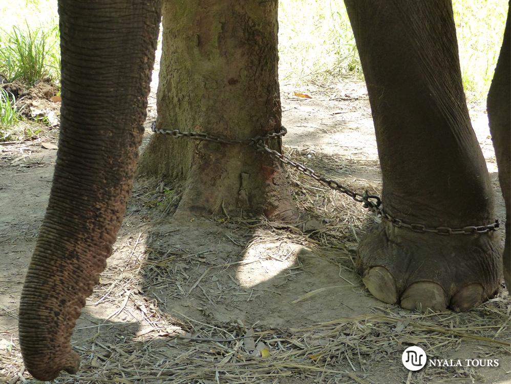 elephant-tied-up-khao-yai-thailand