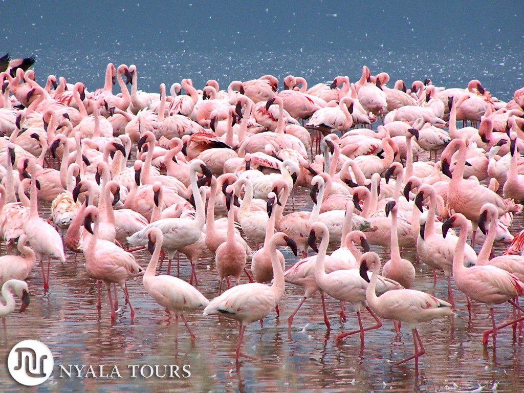 flamingos-nakuru