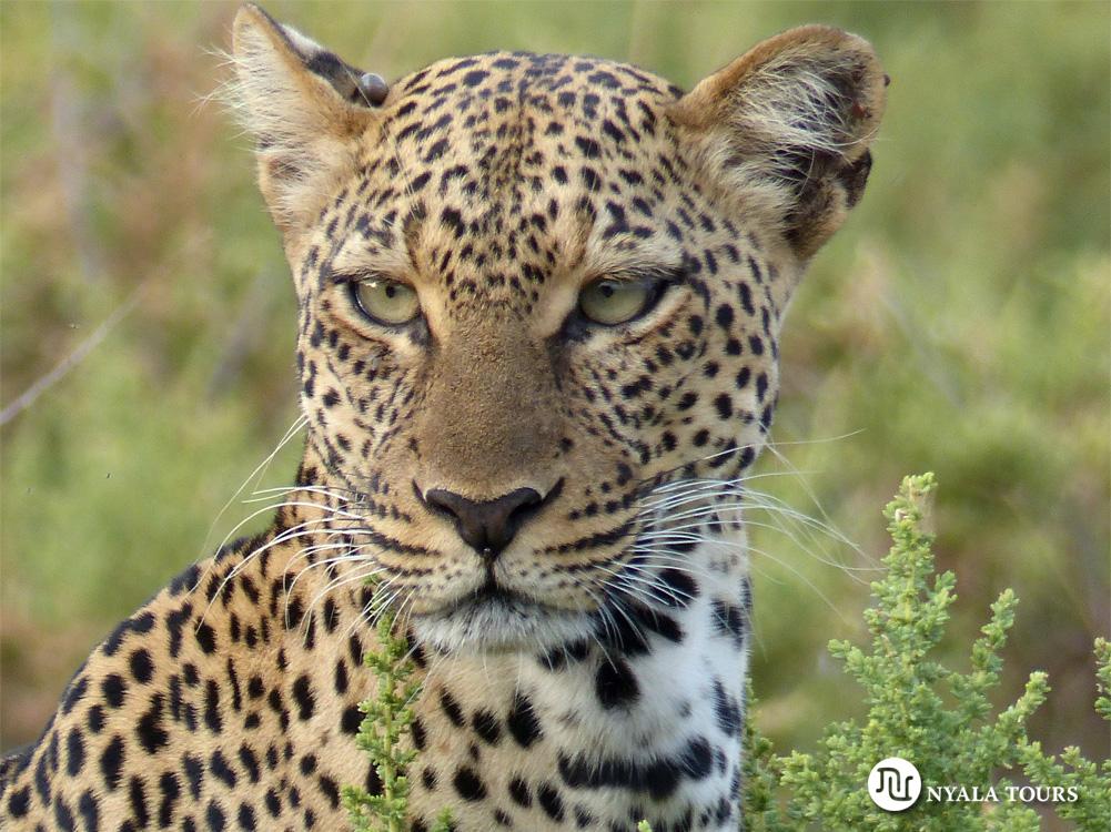 leopard-samburu-best