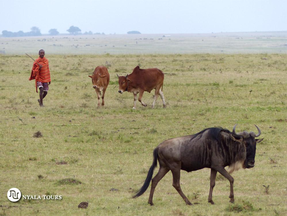 masai-cattle-and-gnu