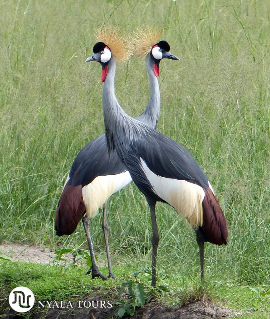 Crested Cranes.  Grulla Coronada.  Ishasha, Uganda.