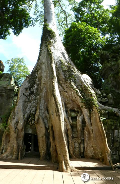 tree-siemreap-angkor-camodia