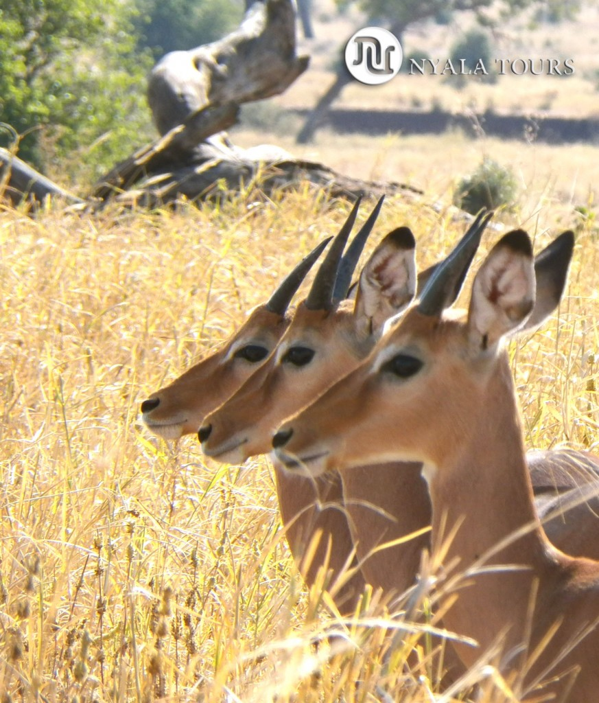 Impalas triplets lined up, cut