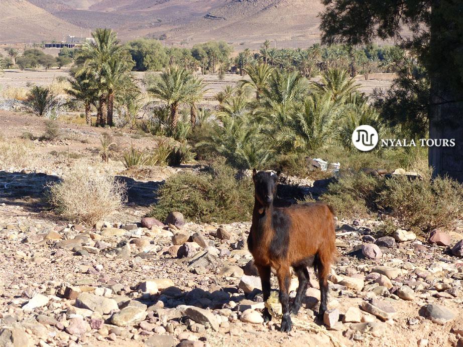 Marruecos cabra