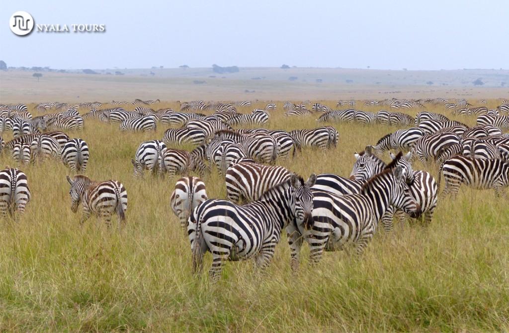 zebras-web-nyala
