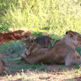 Safari a Kenia con Playa Diani  |   Safari to Kenya with Diani Beach