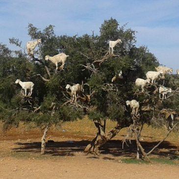 Las Cabras Trepadoras de Árboles de Marruecos  |  The Tree Climbing Goats of Morocco
