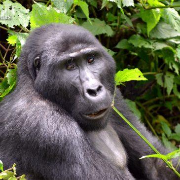 Increíble Trekking de Gorilas en la Selva de Bwindi, Uganda